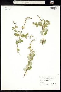 Image of Lonicera subspicata