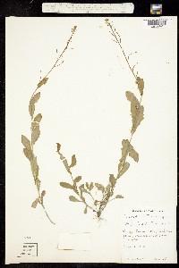Image of Boechera dentata