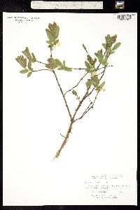 Image of Lonicera villosa