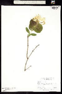 Image of Lonicera flava