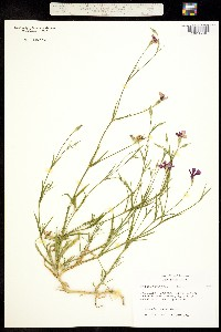Image of Silene coeli-rosa