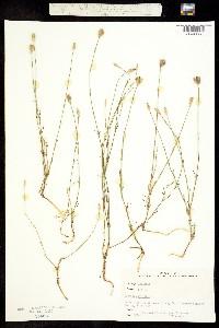 Image of Dianthus prolifer