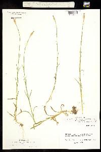 Image of Dianthus velutinus