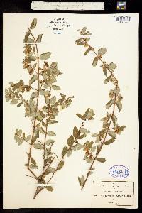 Symphoricarpos microphyllus image
