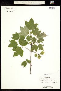 Image of Viburnum acerifolium
