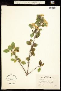 Image of Viburnum prunifolium