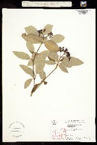 Image of Viburnum burejaeticum