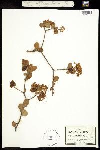 Viburnum cuneifolium image