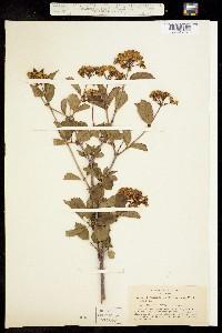 Image of Viburnum ellipticum