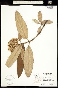 Image of Viburnum rhytidophyllum