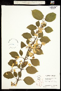 Image of Viburnum plicatum