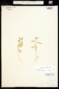 Silene menziesii image