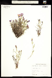 Image of Dianthus repens