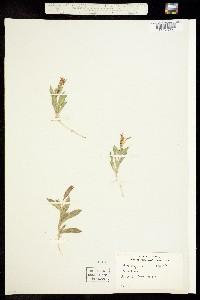 Image of Silene californica