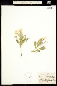 Image of Silene hookeri