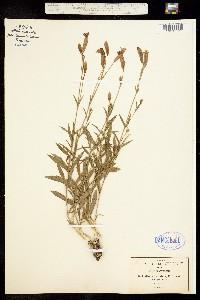 Image of Silene laciniata