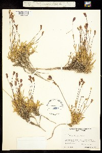 Image of Silene parryi