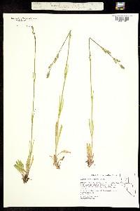 Image of Silene nachlingerae