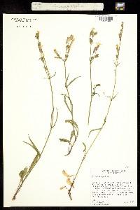 Silene oregana image