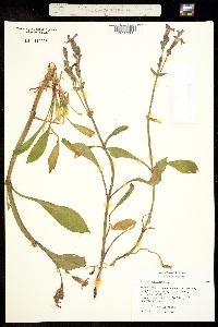 Image of Silene virginica