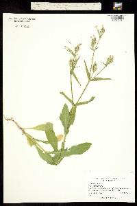 Image of Silene latifolia