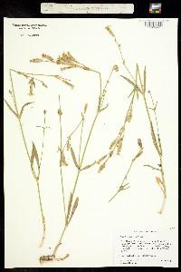 Image of Silene bernardina