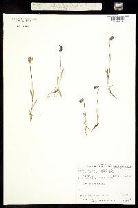 Image of Silene uralensis