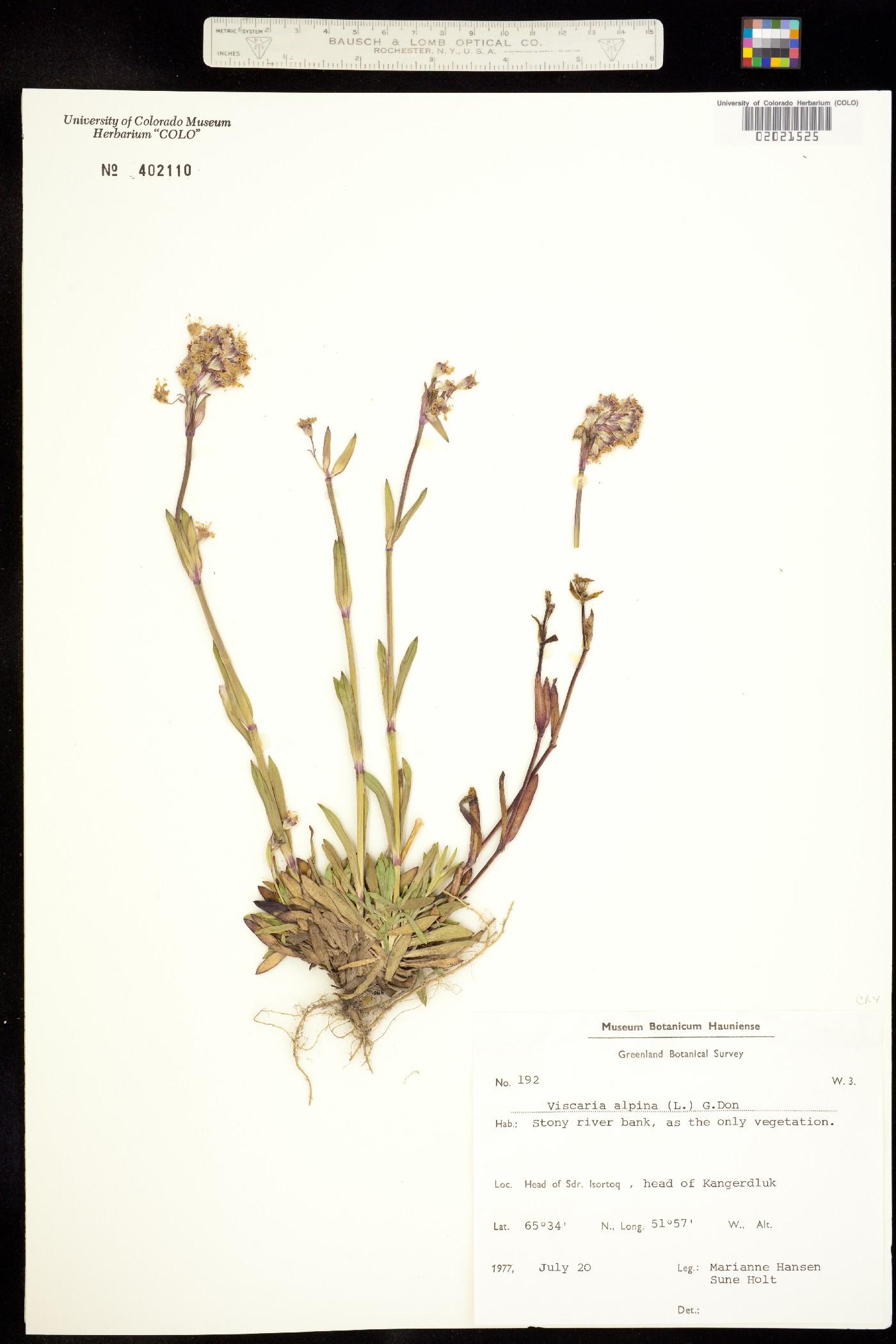 Viscaria alpina image