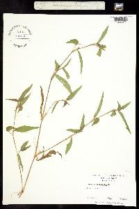Image of Commelina caroliniana