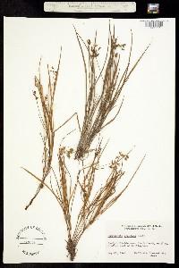 Image of Callisia graminea