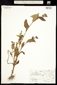 Tinantia erecta image
