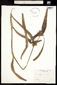 Image of Tradescantia subaspera