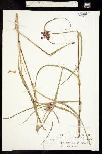 Tradescantia occidentalis image