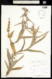 Tradescantia crassifolia image
