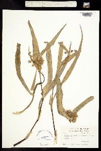 Image of Tradescantia ernestiana