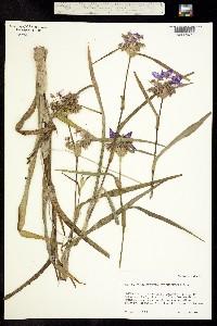 Image of Tradescantia hirsutiflora