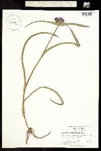 Image of Tradescantia hirsuticaulis