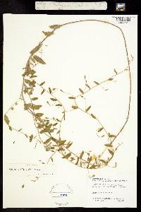 Image of Bonamia villosa