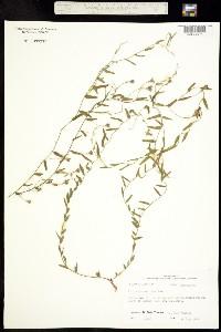 Evolvulus sericeus image