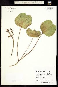 Image of Ipomoea brasiliensis