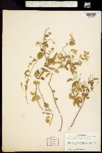 Jacquemontia pringlei image