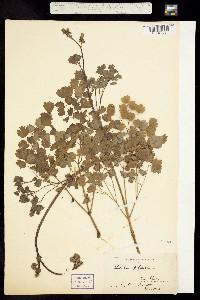 Image of Thalictrum polycarpum