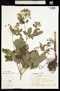 Thalictrum pubescens image