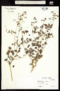 Thalictrum sparsiflorum image