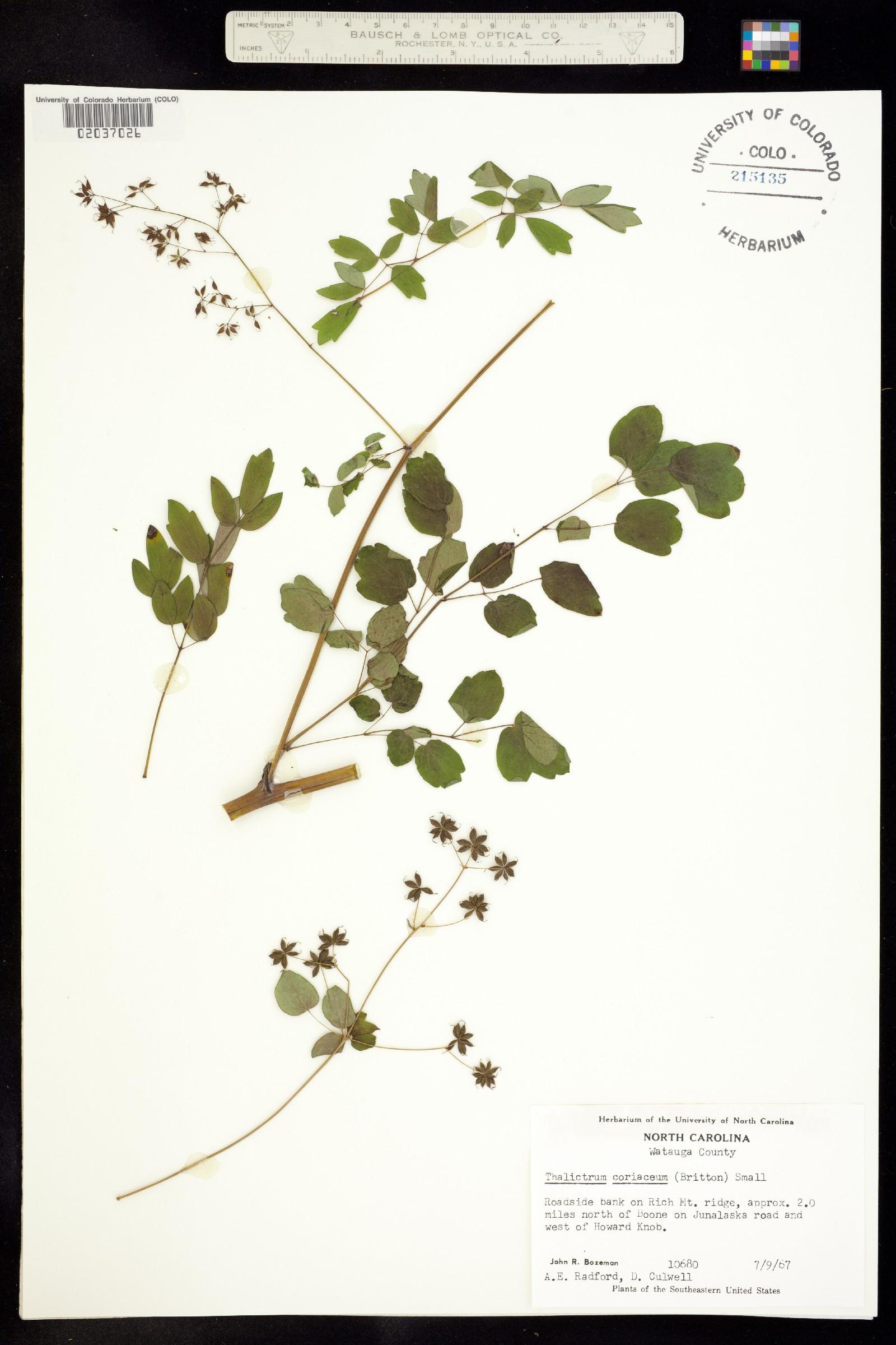 Thalictrum coriaceum image