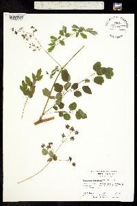 Image of Thalictrum coriaceum