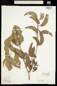 Swida asperifolia image