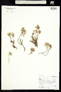 Sedum lanceolatum subsp. lanceolatum image