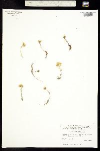Sedum lanceolatum image