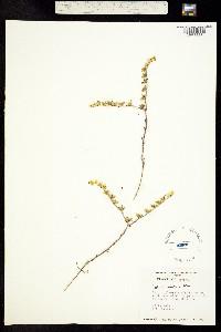Image of Sedum radiatum